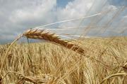 Продаю пшеницу,  зерноотходы, ячмень,  овёс. По всей территории РК и РФ ,